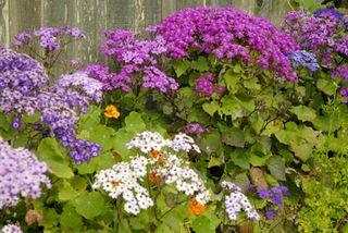 Golden Gate Gardener Cineraria A Special Flower