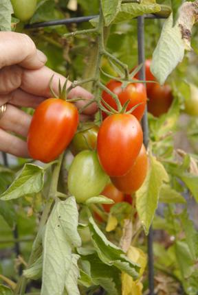 Tomatoes Juliet-hand 09 012 copy