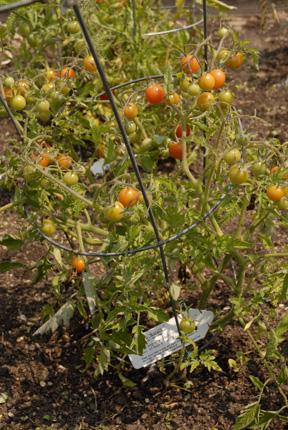 Tomatoes koralik early 09 006 copy