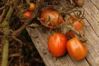 Tomatoes Juliet-blight 09 023 copy 2