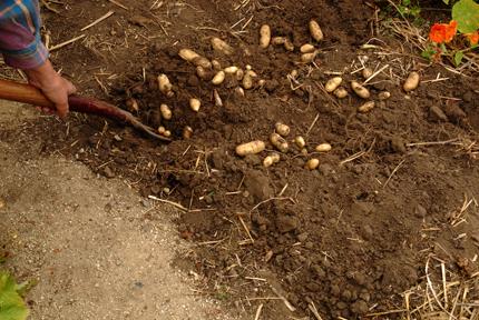 Potatoes backyard  004 copy72