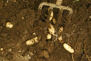 Digging potatoes 001 copy72