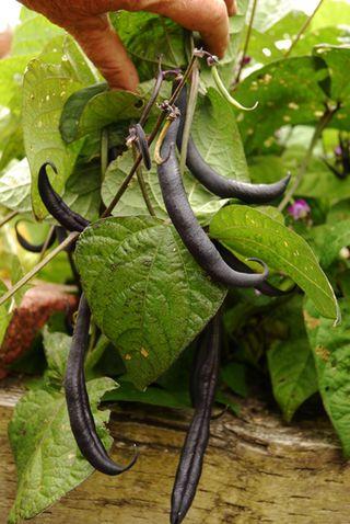 Royal Burgundy beans  mid July 020 copy