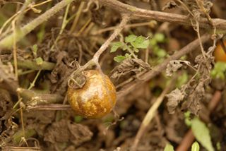 Tomatoes blight 09 022 copy