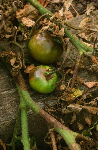 Tlb vegetable scans 040 blog copy