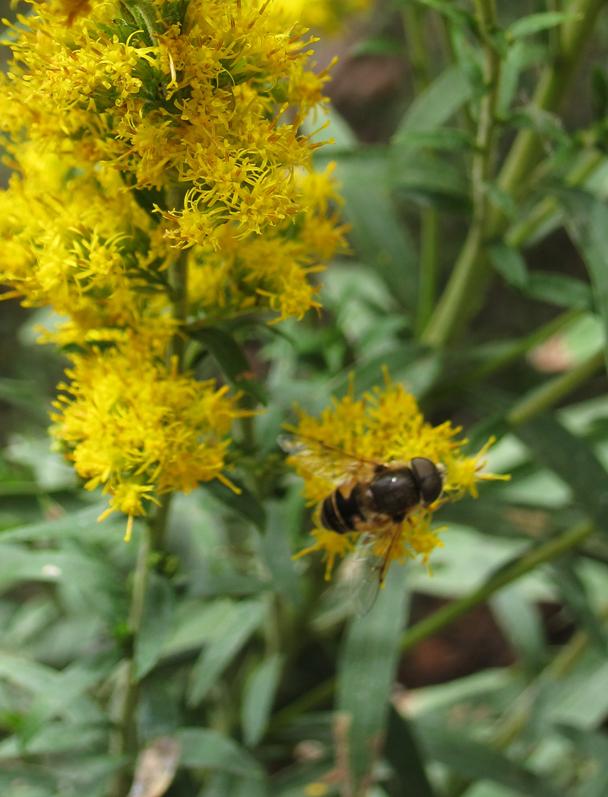 GR big bee IMG_5416 copy