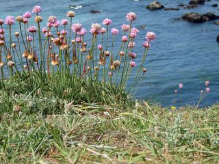 Armeria maritima MG_7067 copy
