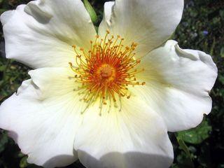 Rose IMG_5406 copy