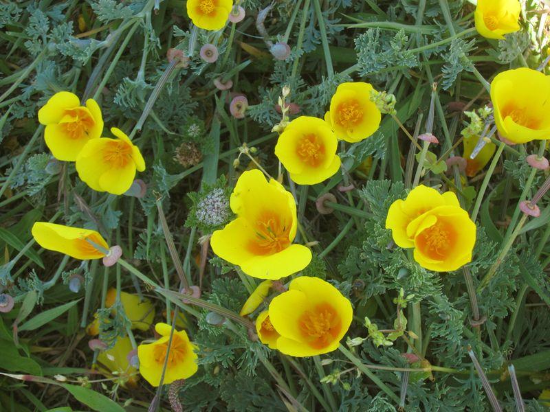Yellow poppy IMG_7007 copy