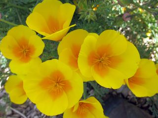 BY Coast poppies IMG_1724 copy