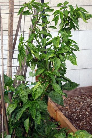 Pepper Long Orange--releafing IMG_8410 copy