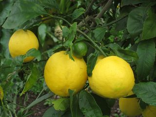 Lemon tree IMG_8366 copy