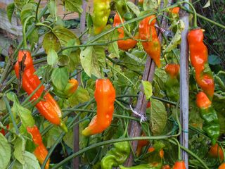 Orange perennial pepper IMG_7838 copy