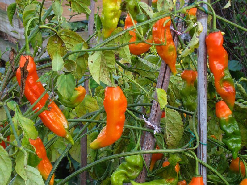 Orange perennial pepper IMG_7838 copy