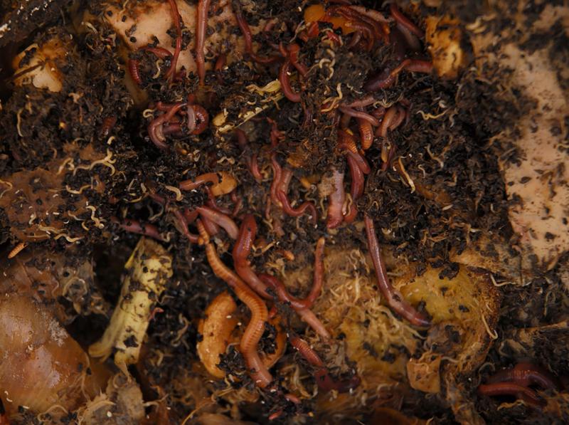 Compost redworm 2010 March 043 copy